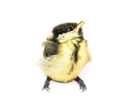 fledgling: Fledgling birds tit. Photo isolated on white background