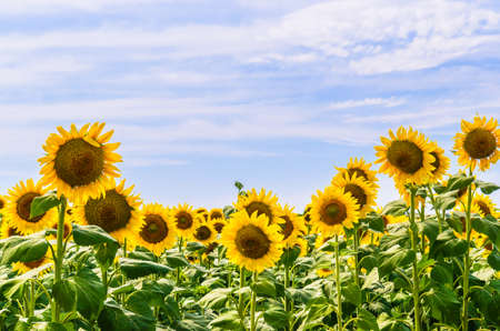 The field of blooming sunflowers Stock Photo - 14894000