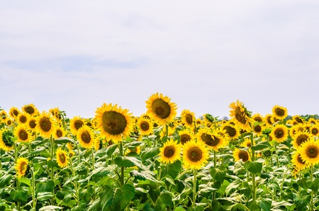 The field of blooming sunflowers Stock Photo - 14889371