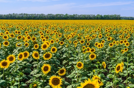 The field of blooming sunflowers Stock Photo - 14894003