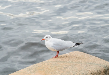 Seagull sitting on a rock on a background of water. Stock Photo Stock Photo - 18493620