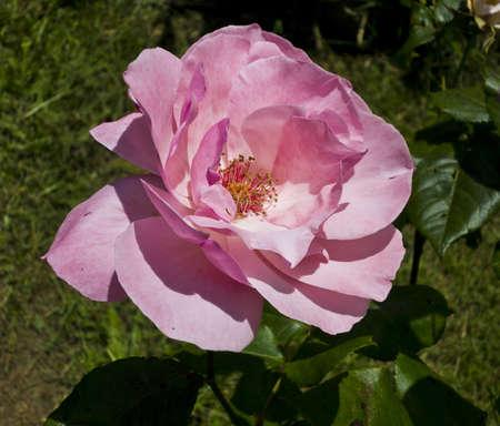 Beautiful pink rose  Please see my portfolio