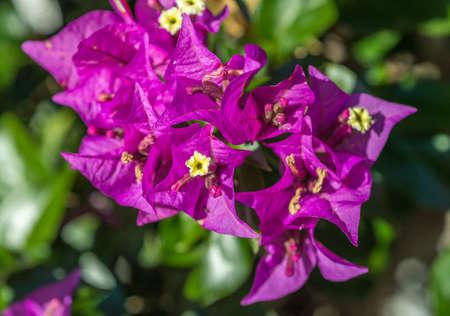 Purple Bougainvillea flowers macro