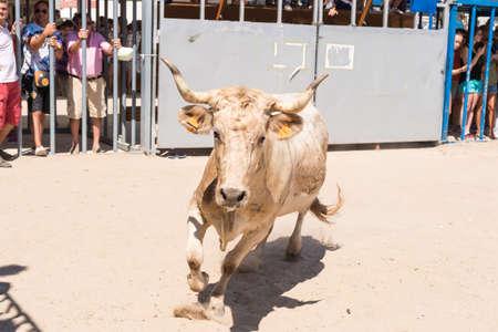 JAVEA, SPAIN - SEPTEMBER 2  A heifer running during the festivity  Nuestra Senora de Loreto  on September 2, 2013 in Javea, Spain