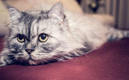 Grey persian Cat Stock Photo