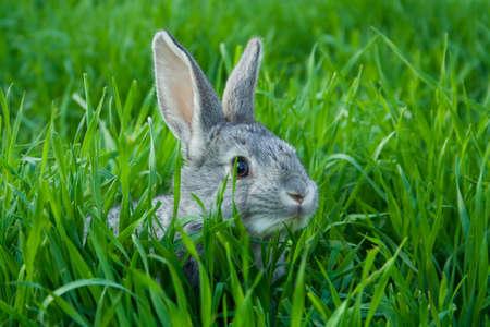 Little grey rabbit on green grass  photo