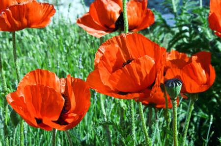 poppies, Maquis Stock Photo
