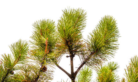 Green branches of a pine with young cones isolated