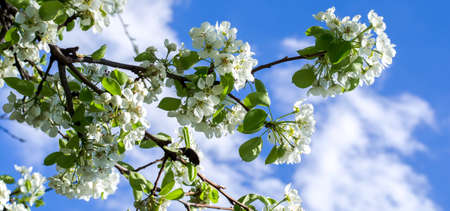 A branch of flowering tree on the sky background