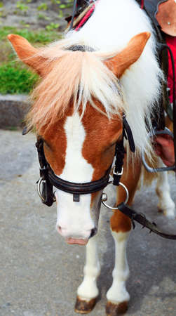 shetland pony: Pony horse on a leash. Shetland pony. Animal in nature Stock Photo