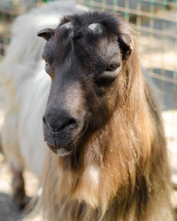 billygoat: The Hairy reddish brown goat Stock Photo