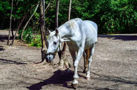 white horse walks among the trees