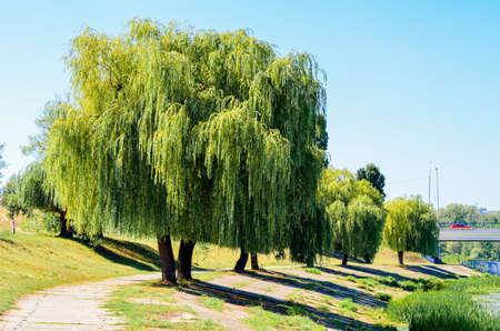 Stel je de scène van wilgen en het pad in oever van de vijver
