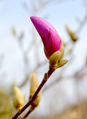 Pink Magnolia buds in spring, blue sky background Stock Photo