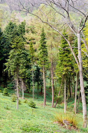 Pine Tree Forrest in the Mountains Stock Photo