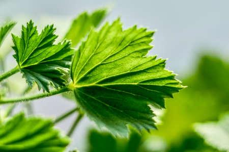 botanics: Royal pelargonium leaves - Pelargonium grandiflorum Stock Photo