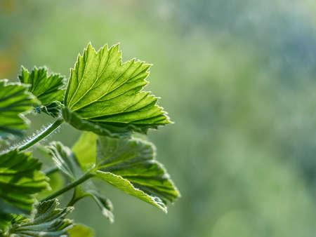 cranesbill: Royal pelargonium leaves - Pelargonium grandiflorum Stock Photo