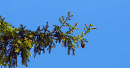Fir branch isolated on blue background