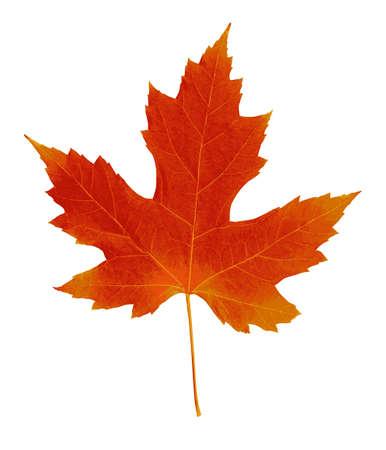 Autumn leaf. Autumn maple leaf isolated on a white background. Vector illustration Ilustración de vector
