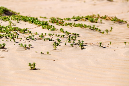 green grass plants on the yellow sands of the beach closeups Stok Fotoğraf