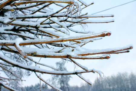 icy: Icy tree branches covered with snow