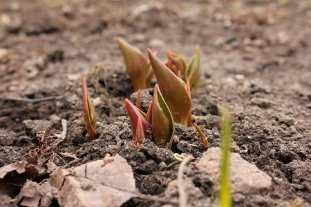 germinate: Young germinate seedling tulips growing from the earth soil