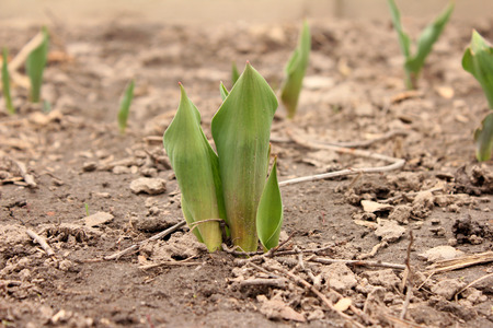 germinate: Earth day. Young germinate seedling tulips growing from the earth soil.