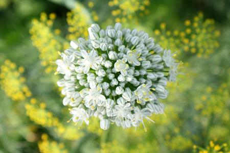 onion flowers: Beautiful white onion flowers closeup Stock Photo
