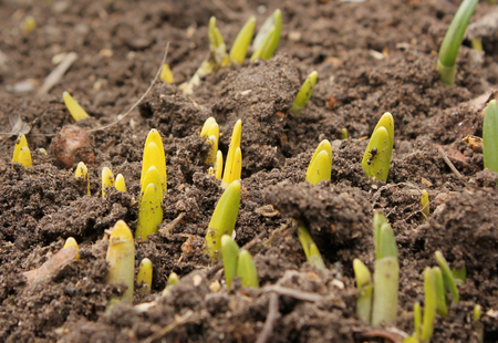 germinate: Earth day. The sprout reaches for the sky. Young germinate seedling daffodil growing from the earth soil