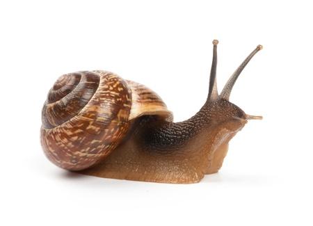 sluggish: Garden snail on white background Stock Photo