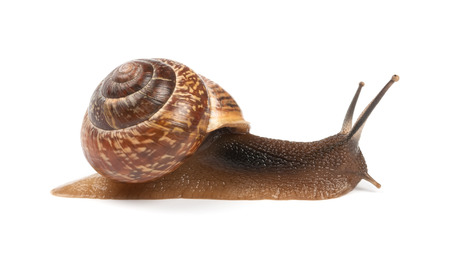 slime: Garden snail on white background Stock Photo