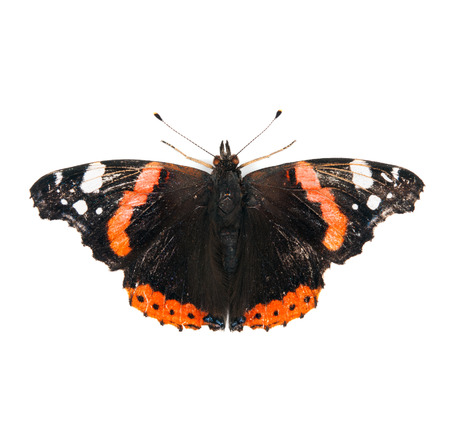 admiral: Red Admiral butterfly isolated on white background