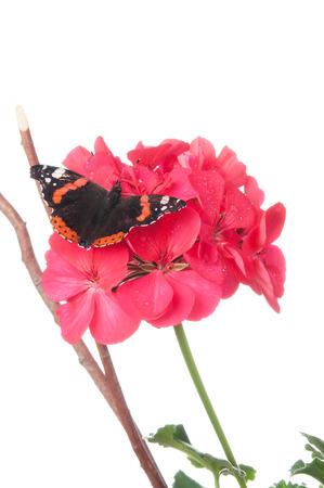 ゼラニウムの花が白で隔離の提督蝶 写真素材