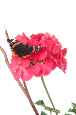 admiral: Admiral butterfly on a geranium flower isolated on white Stock Photo