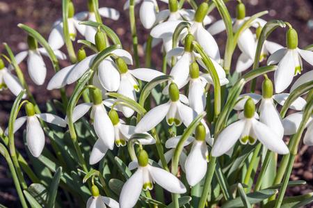 Large bush of snowdrops in the garden Standard-Bild