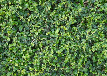trimmed: Green Leaf and Trimmed Bush Texture