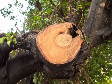 indentation: Indentation of old huge branch tree which is cover on living area