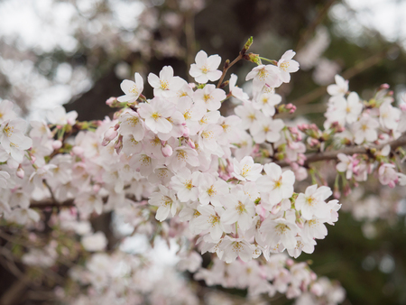Cherry blossom trees in Japan, selective and soft focus on the middle of blossoms with blurry foreground of some blossoms  and blurry background of other blossoms Archivio Fotografico