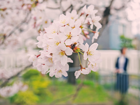 Cherry blossom on tree in Japan, slight depth of field, selective focus on the middle with blurry background of branch and other blossoms and young tourist woman