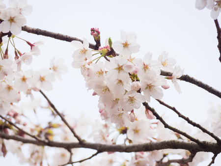 Branch of cherry blossom in Japan, slightly depth of field selective focus with blurry background of another blossom and branch