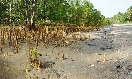 Tropical Mangrove Forest and Roots at Coast Stock Photo