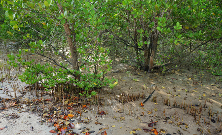 Tropical Mangrove Forest complex root system