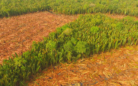 Aerial view - Deforestation of Nipa, tropical mangrove swamp forest of Borneo