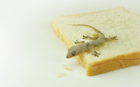 A small reptile - house lizard (Gecko) eating my bread - Pest control concept Imagens