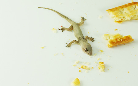 A small reptile - house lizard (Gecko) eating my crackers - Pest control concept Imagens