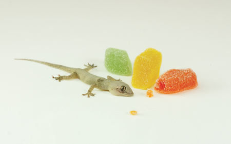 A small reptile - house lizard (Gecko) eating my Sweet candy - Pest control concept