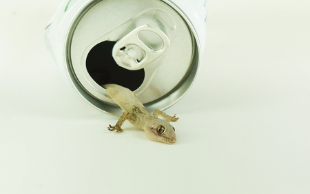 House lizard (Gecko) crawling out from aluminum can - Pest control concept