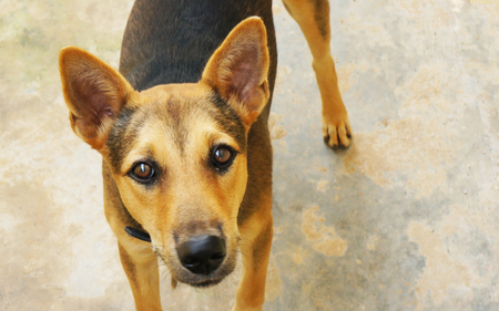 Domestic Asia dog looking up at you. (Mad dog disease/Rabies) resulted in decades of catch and kill