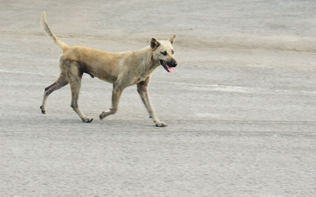 A poor homeless dog running on a pedestrian street (Mad dog disease/Rabies) resulted in decades of catch and kill Banco de Imagens