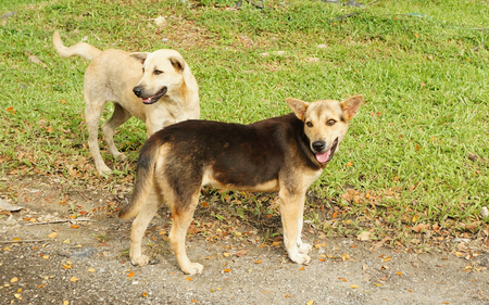 Homeless asia dogs on roadside